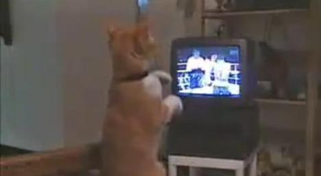 boxing-cat