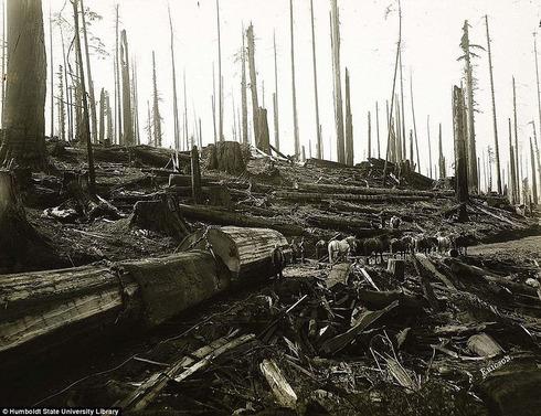 lumberjacks-redwood-2[2]