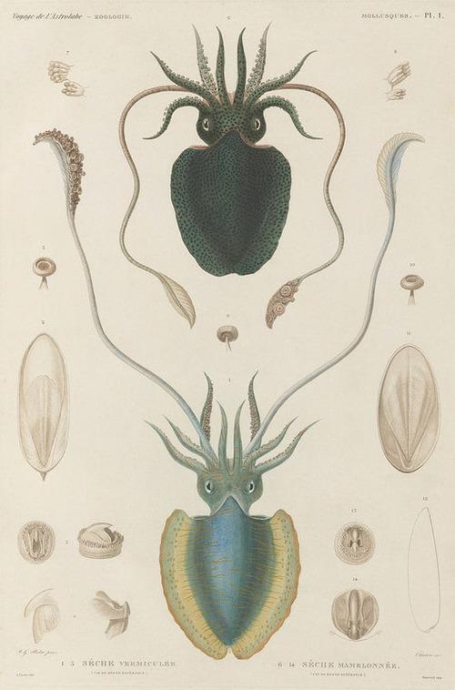 The Astrolabe Molluscs 01