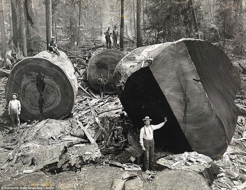 lumberjacks-redwood-3[5]