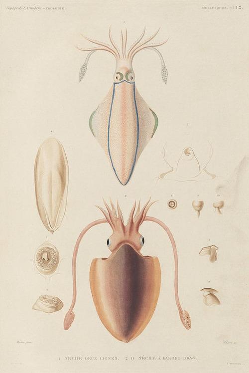 The Astrolabe Molluscs 04