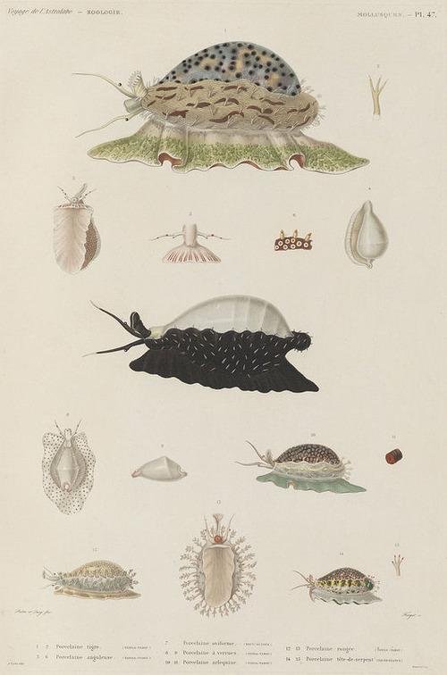 The Astrolabe Molluscs 12