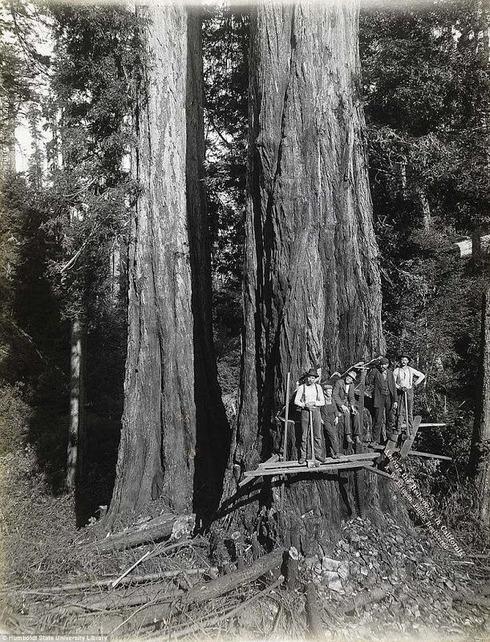 lumberjacks-redwood-6[5]