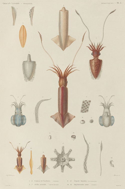 The Astrolabe Molluscs 05