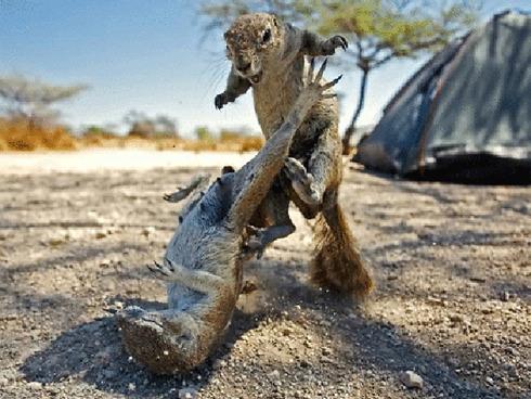 animals-fighting-12
