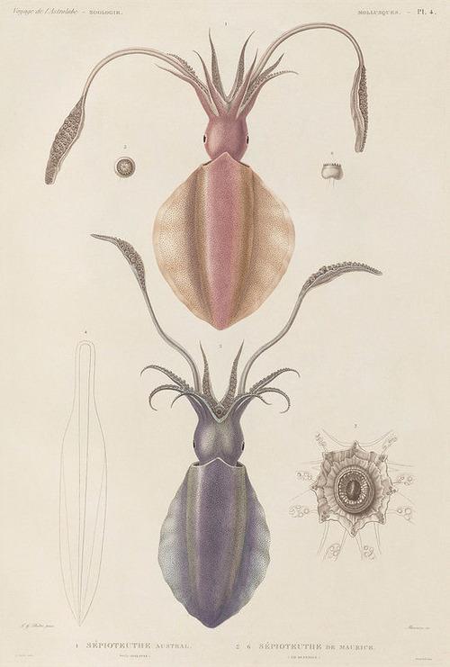 The Astrolabe Molluscs 02