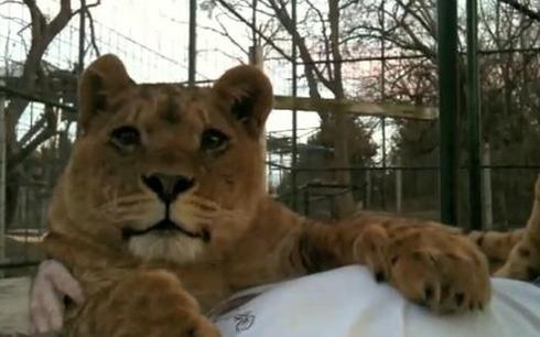 Lion's Kin Rug