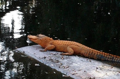 orange_alligator