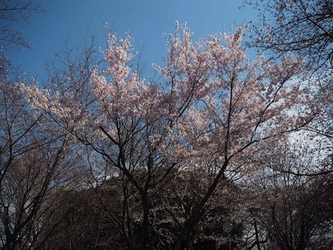 お花見2017_5809