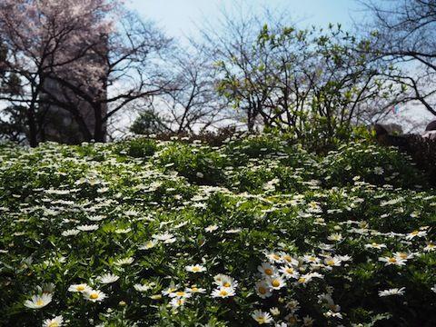 お花見2017_5218