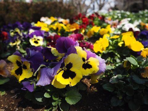 お花見2017_9089