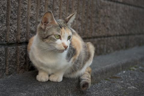 三毛猫の画像 p1_8
