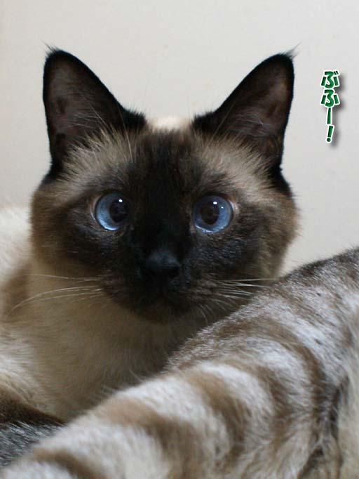 シャム猫2010063001