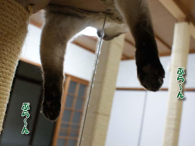 シャム猫2010062614