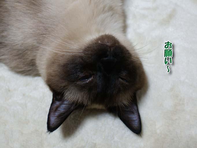 シャム猫2010062802