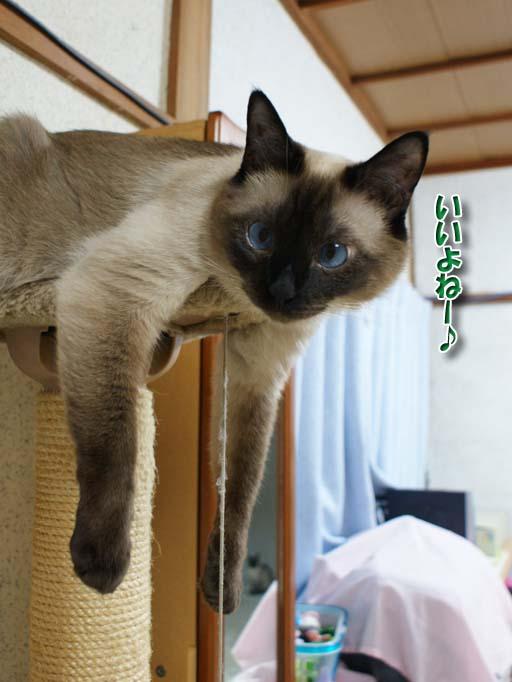 シャム猫2010062613