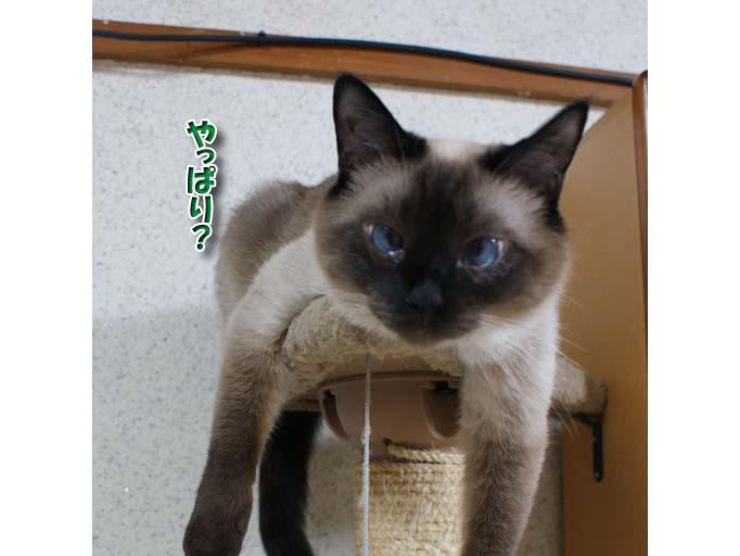 シャム猫2010062607