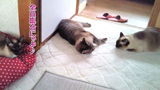 シャム猫2010062905