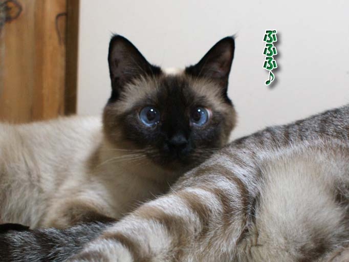 シャム猫2010063002