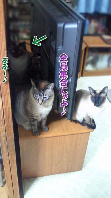 シャム猫2010062907