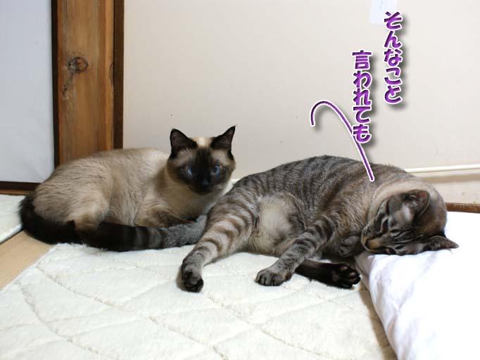 シャム猫2010063005