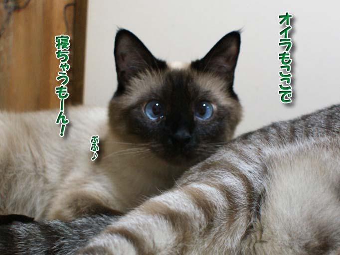 シャム猫2010063007