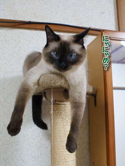 シャム猫2010062606