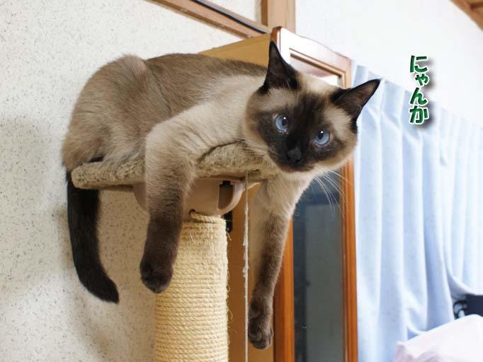 シャム猫2010062610