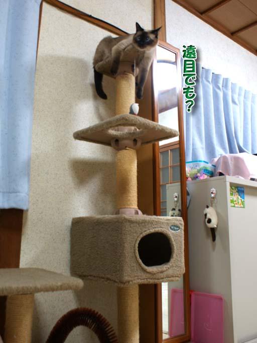 シャム猫2010062608