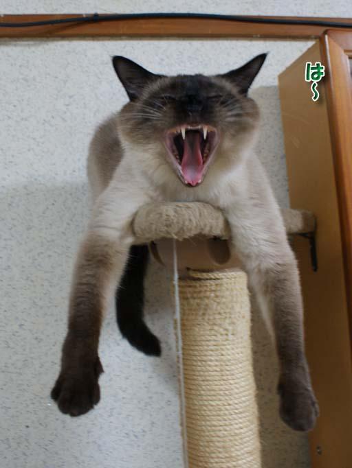 シャム猫2010062602