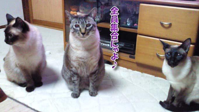 シャム猫2010062903