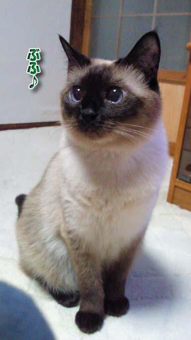 シャム猫2010062902