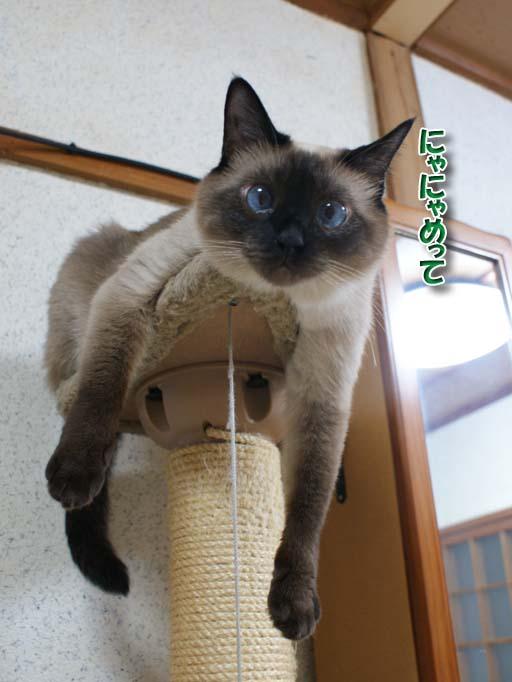 シャム猫2010062609