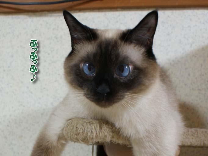 シャム猫2010062601