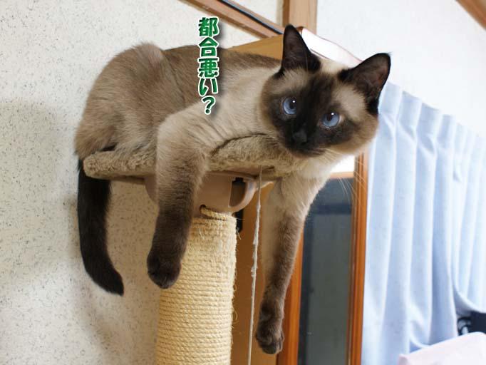 シャム猫2010062611