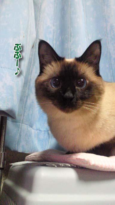 シャム猫2010062901