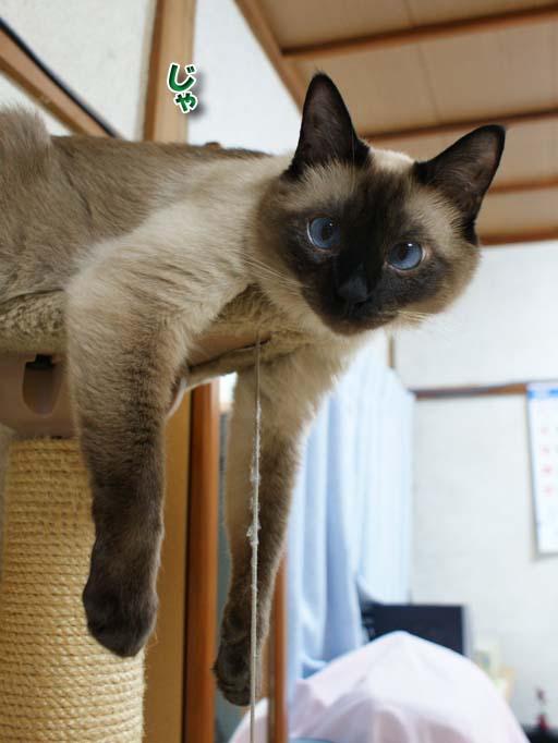 シャム猫2010062612