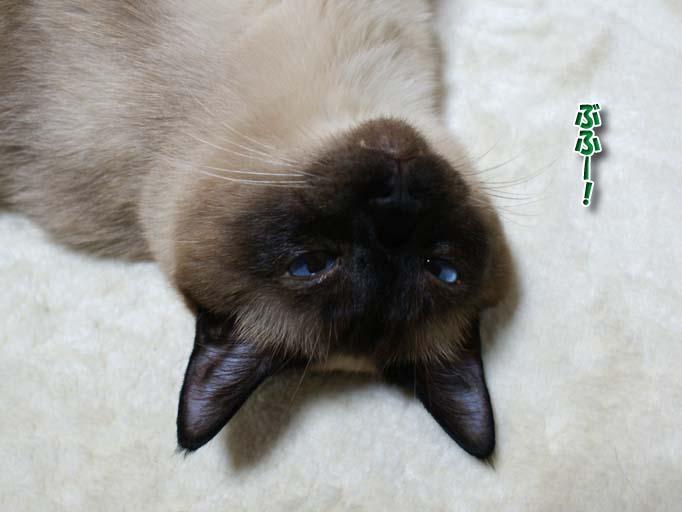 シャム猫2010062801