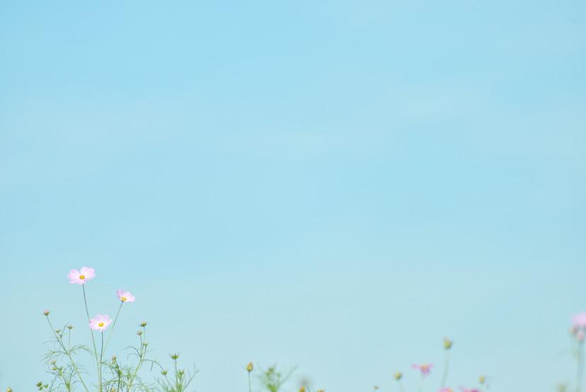 昭和記念公園 コスモス 秋桜_06