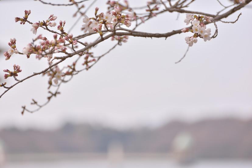 D600 狭山湖 桜_10