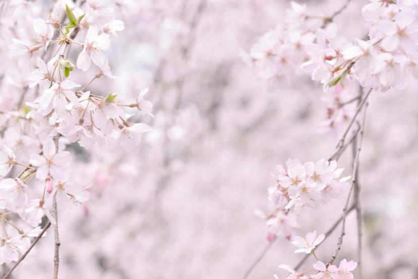 D600 桜_35