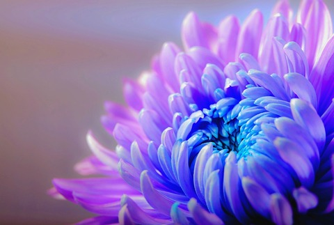 chrysanthemum-1332994_960_720