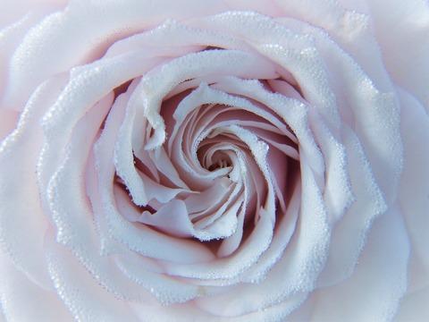 rose-2634412_1920