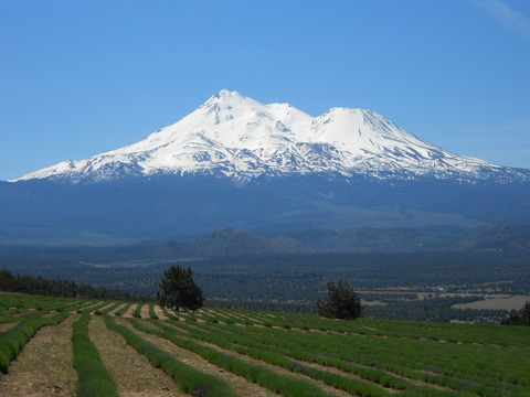 Shasta Lavender Farm4
