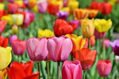 tulips-3321559_960_720