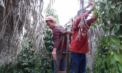 Kep収穫1 May 2015