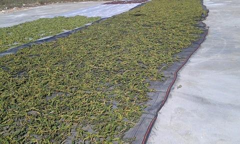 黒胡椒乾燥Feb2015