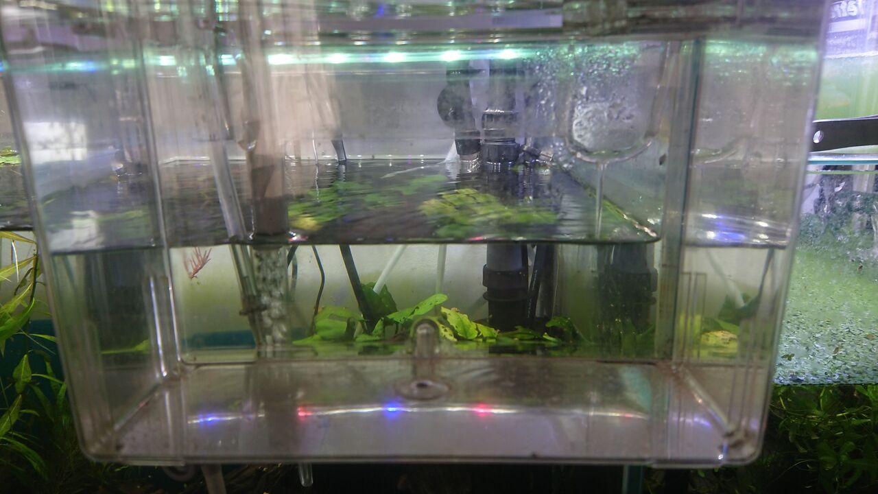 コリドラス 稚魚