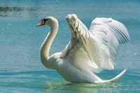 白鳥gatag-00002160