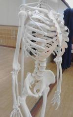 肋骨と脊椎のカーブ